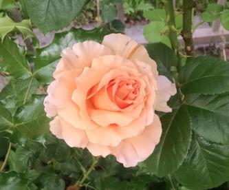 better-polka-rose