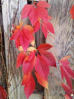red-vine-fence