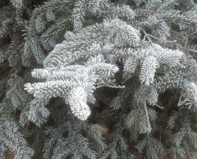 frost-on-evergreen2