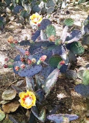 prickly pear tucson