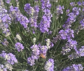 bee in lavender