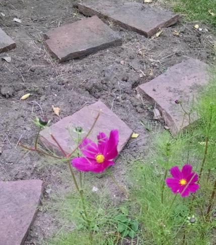 cosmos and pavers