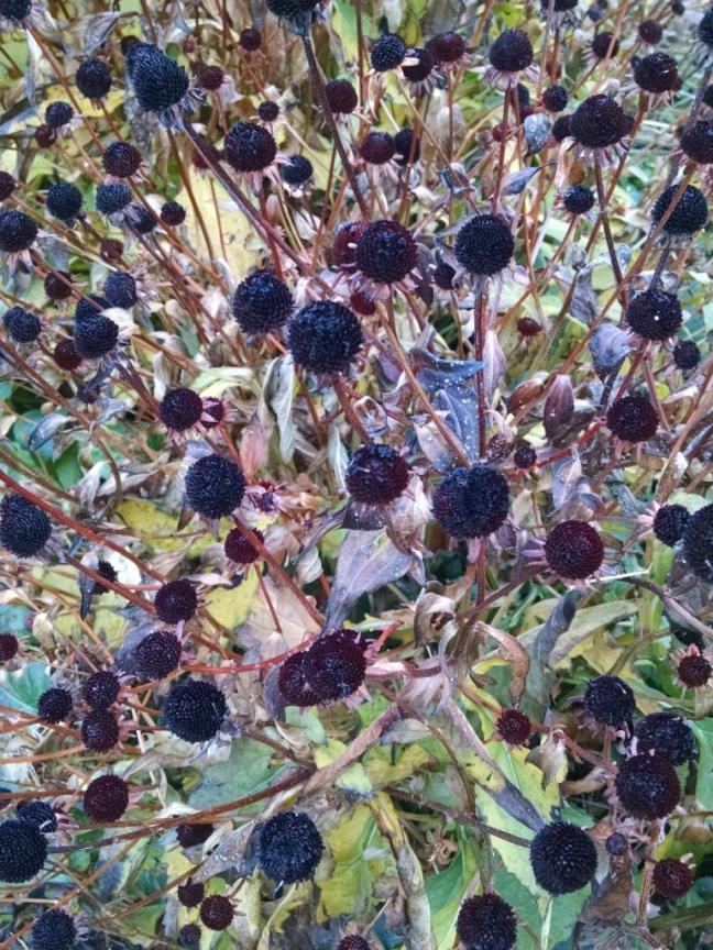 dead echinacea flowers