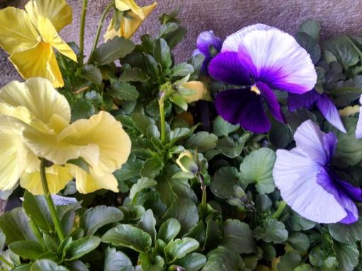 pansies yellow purple