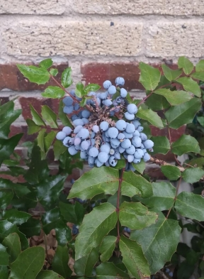 oregon grape fruit