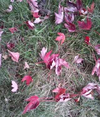 maple leaves on ground