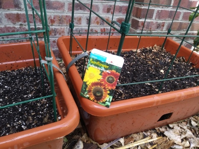 sunflower seed planting June 11